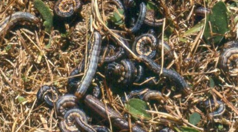 migori army worms