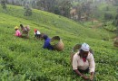 Challenges faced by farmers in tea production